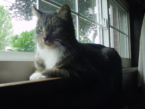 Tabby in window