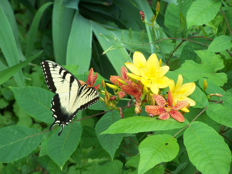 Eastern tiger swallowtail3