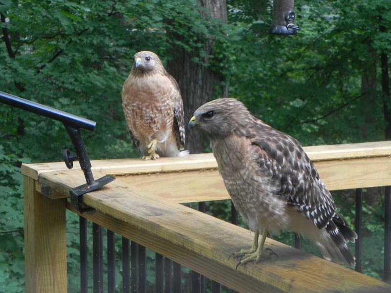 Red shouldered hawks