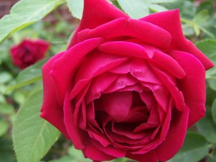 Climbing_rose1