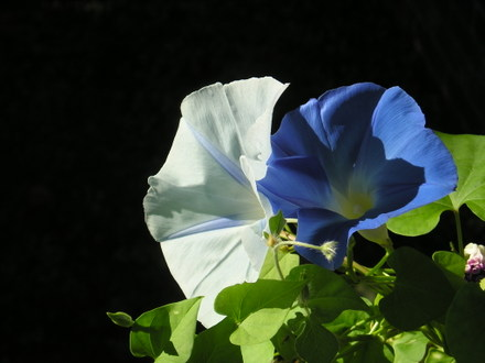 Morningglory_bluewhite2
